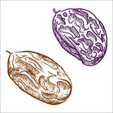 Raisins hand drawn. Vector illustration Stock Image