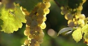 Raisins jaunes mûrs dans le vignoble, tir de chariot banque de vidéos