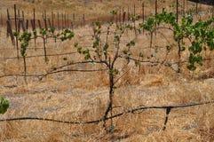 Raisins luttant dans le pays de vin Images libres de droits