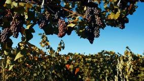 Raisins mûrs dans la cour de vigne, vue en gros plan, effet de vintage clips vidéos