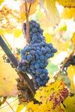 Raisins mûrs organiques de vin rouge dans le vignoble Photographie stock