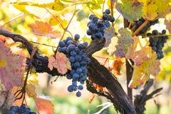 Raisins mûrs organiques de vin rouge dans le vignoble Photo libre de droits