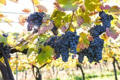 Raisins mûrs organiques de vin rouge dans le vignoble Images libres de droits