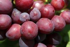 Raisins mûrs rouges Grandes baies des raisins mûrs Macro photographie de plan rapproché de raisin Photos stock