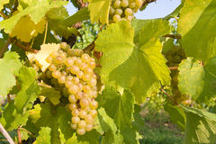 Raisins mûrs sur la vigne photos libres de droits