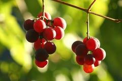 Raisins mûrs 4 Images stock