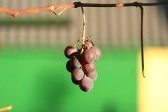 Raisins mûrs 6 Photographie stock