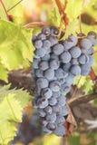 Raisins mûrs accrochant sur la vigne au soleil Photo libre de droits