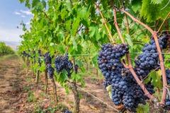 Raisins mûrs dans un vignoble, Toscane Photographie stock libre de droits