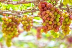 Raisins mûrs rouges dans le jardin Images stock