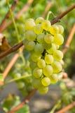 Raisins mûrs sur la branche Photo stock