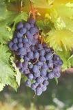 Raisins mûrs sur une vigne Photo stock