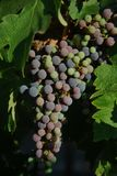 Raisins magnifiques de napa de la Californie Photographie stock