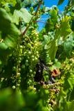 Raisins malbec dans le vignoble en Mendoza, Argentine Photos stock