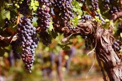 Raisins merlot dans la vigne Photographie stock libre de droits