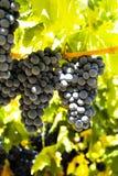 Raisins noirs Photos libres de droits