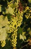 Raisins non mûrs sur la vigne Photos libres de droits