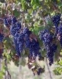Raisins pourprés sur des vignes Photo libre de droits