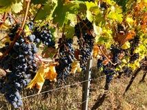 Raisins pourpres de tenue de protection individuelle sur une vigne en automne image stock