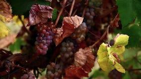 Raisins roses dans le vignoble clips vidéos