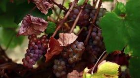 Raisins roses dans le vignoble banque de vidéos