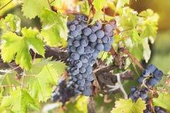 Raisins rouges accrochant sur la vigne au soleil Photo stock
