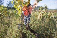 Raisins rouges accrochant sur un buisson dans un beau jour ensoleillé Raisins mûrs rouges dans le vignoble Photographie stock libre de droits
