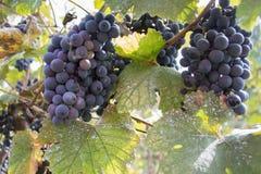 Raisins rouges accrochant sur un buisson dans un beau jour ensoleillé Raisins mûrs rouges dans le vignoble Photographie stock