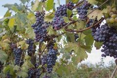 Raisins rouges accrochant sur un buisson dans un beau jour ensoleillé Raisins mûrs rouges dans le vignoble Images stock