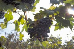 Raisins rouges accrochant sur un buisson dans un beau jour ensoleillé Raisins mûrs rouges dans le vignoble Photos libres de droits