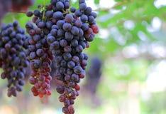 Raisins rouges avec les feuilles vertes dans le vignoble image stock