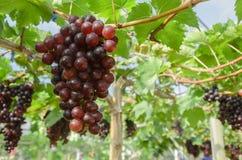 Raisins rouges de maturation dans le vignoble de campagne pour le vin rouge, Thailan Photos libres de droits