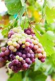 Raisins rouges et verts Image libre de droits