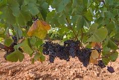 Raisins rouges mûrissant sur des actions de vin photos libres de droits