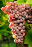 Raisins rouges rougeoyant à la lumière du soleil Photo stock
