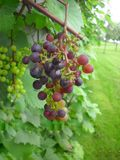 Raisins rouges s'élevant sur des actions de vigne près d'un mur Photographie stock libre de droits