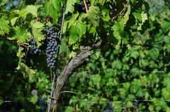 Raisins rouges sur des vignobles dans la région de chianti tuscany photo libre de droits