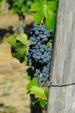 Raisins rouges sur des vignobles dans la région de chianti tuscany photos stock