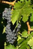 Raisins rouges sur des vignobles dans la région de chianti tuscany images libres de droits