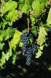 Raisins rouges sur des vignobles dans la région de chianti tuscany image libre de droits