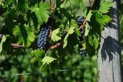 Raisins rouges sur des vignobles dans la région de chianti tuscany image stock