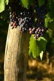 Raisins rouges sur des vignobles dans la région de chianti tuscany photographie stock libre de droits