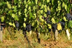 Raisins rouges sur des vignobles dans la région de chianti tuscany photographie stock