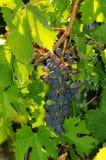 Raisins rouges sur des vignobles dans la région de chianti tuscany photos libres de droits