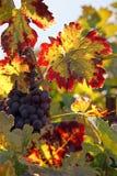 Raisins rouges sur la vigne Photo libre de droits