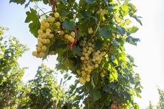 Raisins roumains Images libres de droits