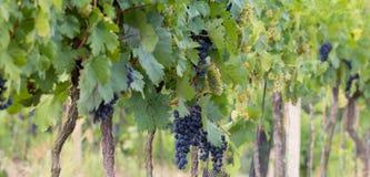 Raisins s'élevant dans le vignoble Photo stock