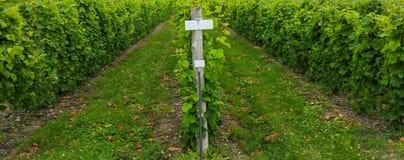 Raisins s'élevant dans le vignoble Photo libre de droits