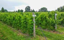 Raisins s'élevant dans le vignoble Photographie stock libre de droits