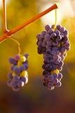 Raisins s'arrêtant dans la vigne Image libre de droits